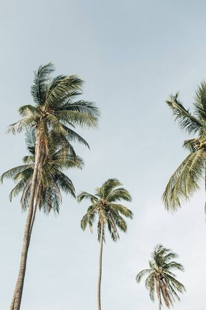 Lonely tropical exotic coconut palm trees against blue sky. Neutral background. Summer and travel concept on Phuket, Thailand.