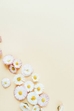 Daisy chamomile flower buds on pastel background. Flat lay, top view minimal summer floral pattern composition.