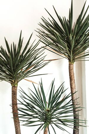 Lonely exotic three palm trees opposite white wall. Neutral floral background.