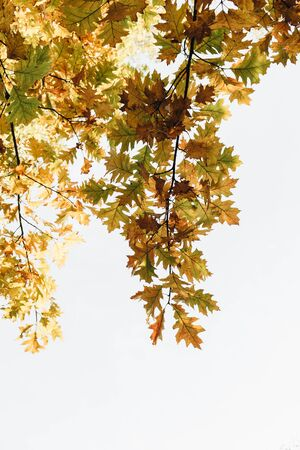 Autumn, fall composition. Beautiful trees with yellow, orange and green oak leaves. Fall concept and natural background. 写真素材