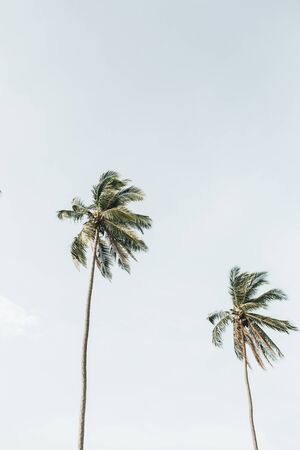 Lonely two tropical exotic coconut palm trees against big blue sky. Neutral background. Summer and travel concept on Phuket, Thailand. Stock fotó