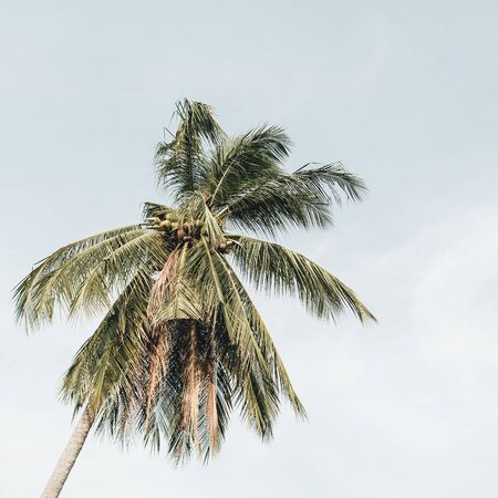 Lonely tropical exotic coconut palm tree against blue sky on windy day. Neutral minimalistic background. Summer and travel concept on Phuket, Thailand. Stock fotó