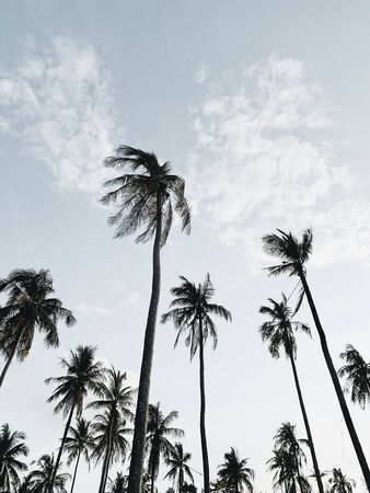 Lonely tropical exotic coconut palm trees against blue sky on windy day. Neutral minimal background. Summer and travel concept on Phuket, Thailand.