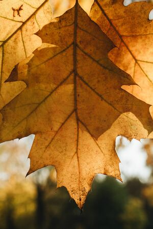 Autumn and fall composition. Beautiful yellow oak leaf against the sun in the park. Fall concept and natural background.