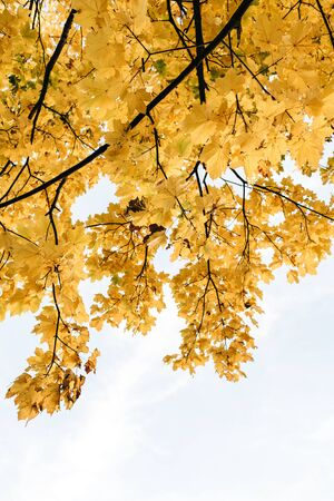 Autumn and fall composition. Beautiful landscape with yellow maple leaves. Fall concept and natural background.
