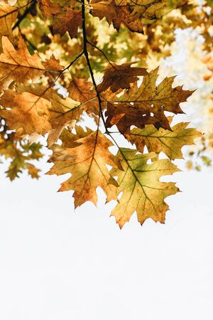Autumn, fall and minimal composition. Beautiful branch with yellow, orange and green oak leaves. Mock up, white space. Fall concept and natural background. Фото со стока