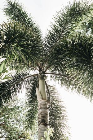 Summer tropical big green coconut palm tree against white sky. Isolated minimal background. Summer and travel concept on Phuket, Thailand. Standard-Bild - 129781978