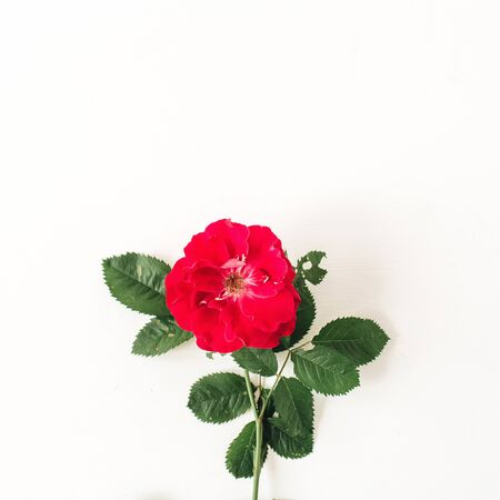 Colorful red rose flower on white background. Minimal floral concept. Zdjęcie Seryjne