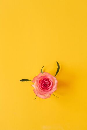 Pink rose flower bud on yellow background. Flatlay, view from above.