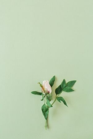 One pink rose flower on green background. Flat lay, top view mint floral composition.