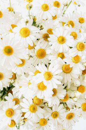 Chamomile daisy flowers on white background. Minimal floral composition.