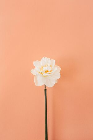 One narcissus flower on coral peach background. Flat lay, top view minimal floral composition. Zdjęcie Seryjne