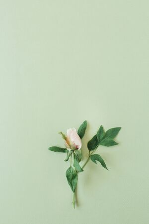 One pink rose flower on green background. Flat lay, top view minimal floral composition. Zdjęcie Seryjne