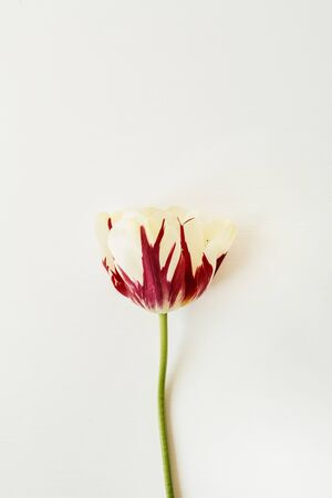 Tulip flower on white background. Flat lay, top view minimal floral composition. Zdjęcie Seryjne