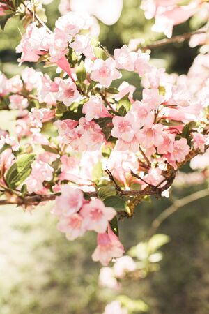 Blooming cherry / apple tree flowers. Natural summer floral composition