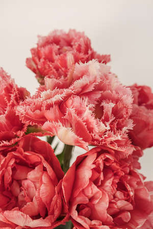 Closeup of beautiful pink peony tulip flowers bouquet in on white background