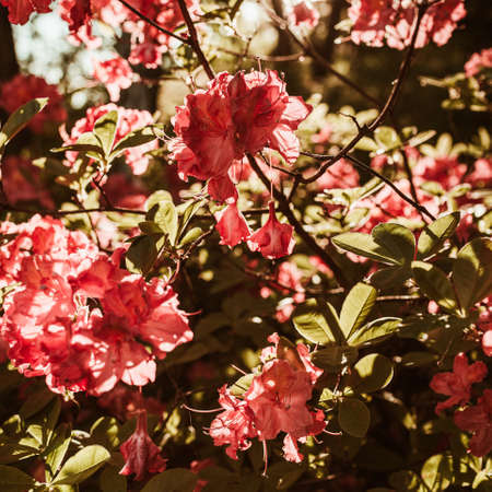 Closeup of beautiful red rhododendron flowers bloom bush in sunlight. Summer floral foliage composition