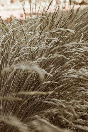 Cocksfoot bluegrass plant stalks field. Natural landscape 版權商用圖片