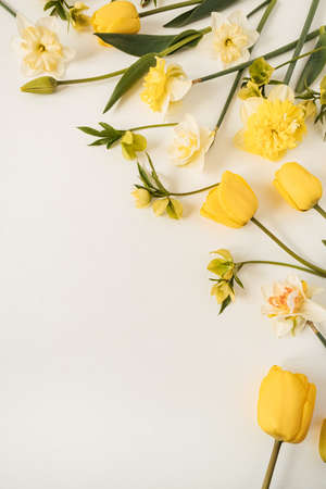 Yellow narcissus and tulip flowers on white background. Flat lay, top view floral festive holiday concept