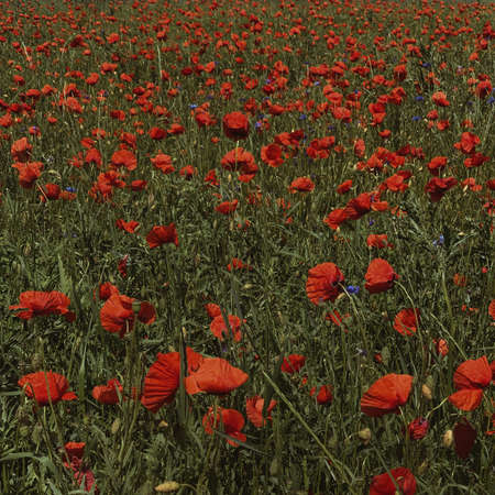 Beautiful red poppies flowers field. Summer floral natural background