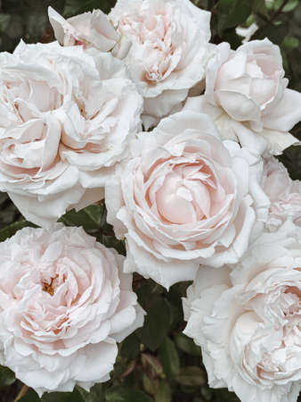 Closeup of beautiful roses flowers. Summer floral background