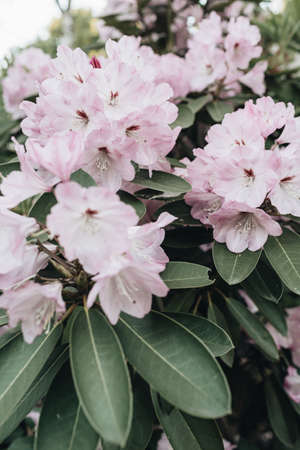Closeup of beautiful purple rhododendron flowers bloom bush. Summer floral foliage composition