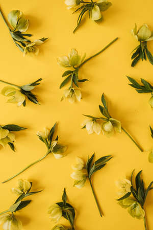 Yellow hellebore flowers pattern on yellow background. Flat lay, top view floral festive holiday texture 版權商用圖片