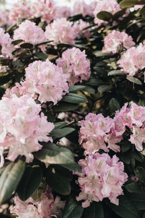 Closeup of beautiful pink rhododendron flowers bloom bush. Summer floral foliage composition