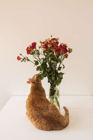 Pretty red cat sniffing red roses bouquet in vase against white wall 版權商用圖片