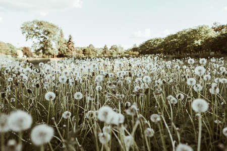 Green field of dandelion blowball grass and blue sky 스톡 콘텐츠 - 151959170