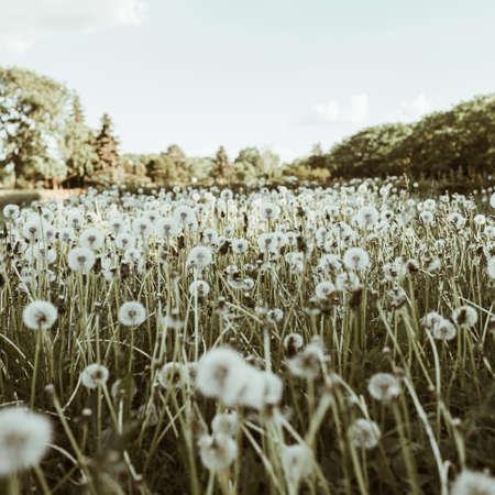 Green field of dandelion blowball grass and blue sky
