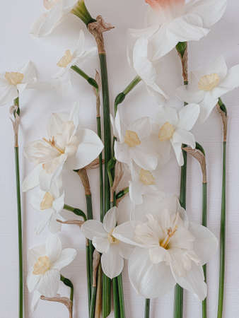 Narcissus flowers on white background. Festive holiday floral pattern