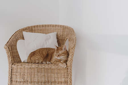 Red cat sleeping on rattan chair with pillow. Minimal interior design.