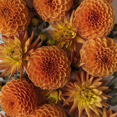 Beautiful orange dahlia flower buds and eucalyptus branches pattern. Flat lay, top view minimalistic still life creative floral texture.
