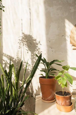 Boho style modern home interior design. Many home plants against concrete wall. Sunlight shadow reflections on the wall. Cactus, succulent in pot.
