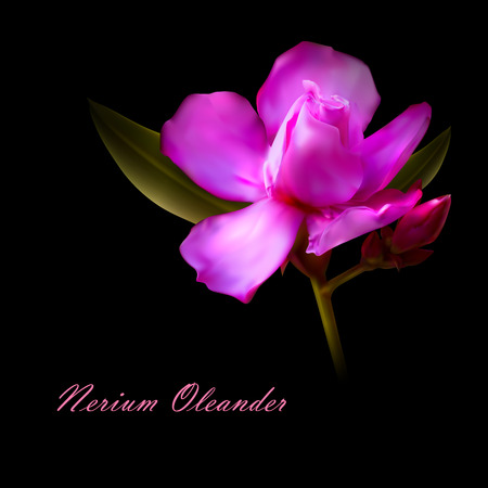 laurier rose: illustration vectorielle de nerium isol�e fleurs lauriers roses rose.