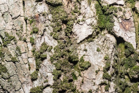 Texture of tree bark with green moss. Background. Ecology. Nature. Health Standard-Bild
