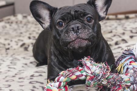 Black french bulldog chewing big dog toy. Lies on the sofa