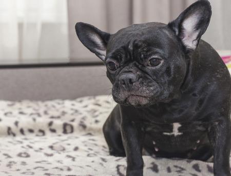 Schwarzer Hund der französischen Bulldogge, der auf dem Sofa sitzt, das traurig schaut. In der Wohnung Standard-Bild - 74919112