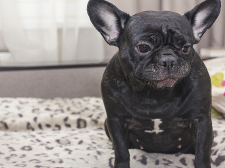 Black french bulldog dog sitting on the sofa looking sad. In the apartment