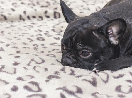 Black french bulldog dog sitting on the sofa look. In the apartment Standard-Bild