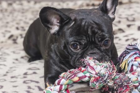 Schwarze französische Bulldogge, die großes Hundespielzeug kaut. Liegt auf dem Sofa Standard-Bild - 74919117