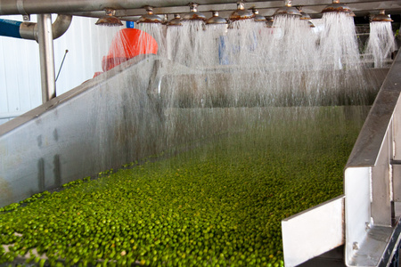 Working process of the production of green peas on cannery. Ripe green peas washing in water before preservation. Movement on the conveyor.
