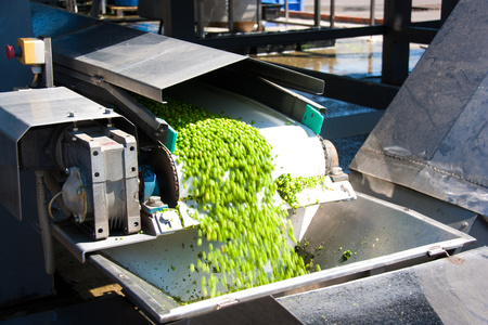 Working process of the production of green peas on cannery. Movement on the conveyor.