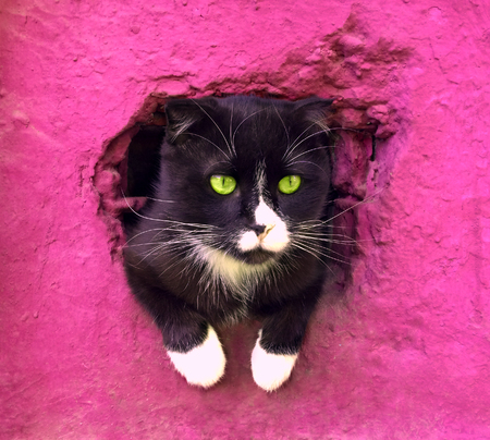 black and white cat on a pink background. Serious wise cat got out to see the world. sad cat looks out of the basement window