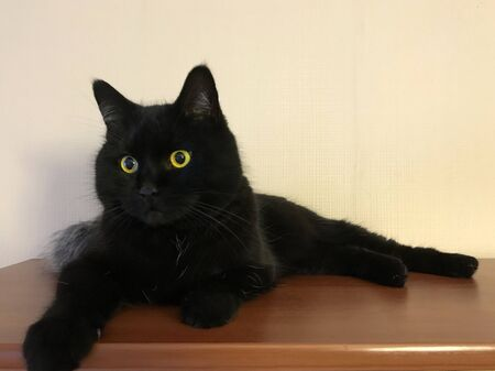 funny black cat. Beautiful fluffy Briton with yellow eyes. Stock fotó