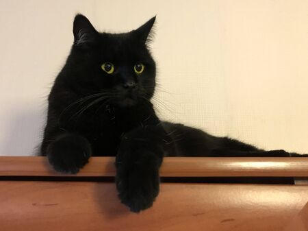funny black cat. Beautiful fluffy Briton with yellow eyes.