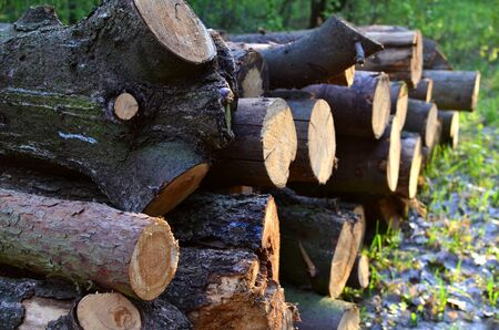 Stack of cut pine tree logs in a forest. Wood logs, timber logging, industrial destruction, forests Are Disappearing, illegal logging Stock fotó