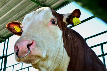 Big beautiful cow on the farm, muzzle close up. Agricultural business, background, texture. Reklamní fotografie