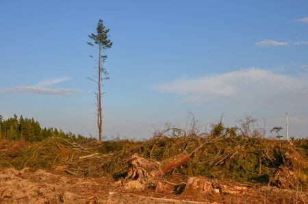 Cut trees in the forest. Deforestation and Illegal Logging, international trade in illegal timber Stock Photo
